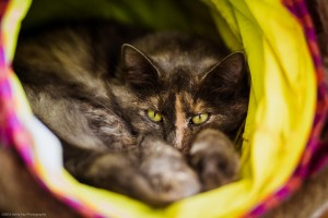A shelter cat from the Cat Connection in Waltham, MA